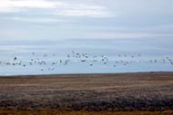 Hundreds of snow geese head south as we continue in a south-easterly direction.